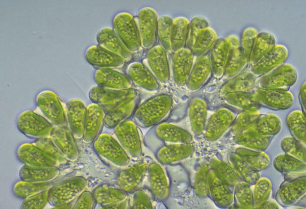 Botryococcus braunii Phycokey Botryococcus images