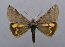 Boudinotiana puella httpsuploadwikimediaorgwikipediacommonsthu