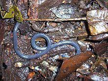 Boulengerula httpsuploadwikimediaorgwikipediacommonsthu