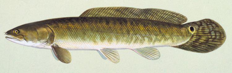 Bowfin Fish Details