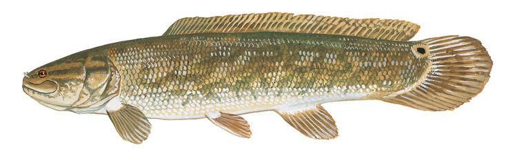 Bowfin SCDNR Fish Species Bowfin