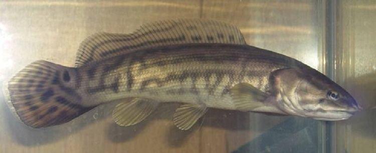 Ильная рыба фото
