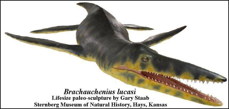 Brachauchenius Brachauchenius