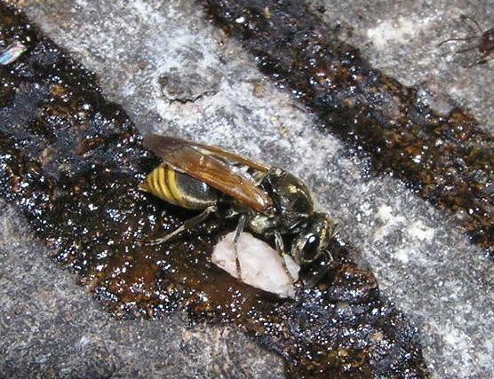 Brachygastra Wasp or bee Brachygastra mellifica BugGuideNet