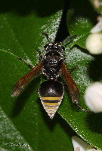 Brachygastra Mexican Honey Wasp Brachygastra mellifica iNaturalistorg