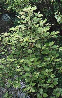 Brachyglottis repanda Brachyglottis repanda New Zealand Plant Conservation Network