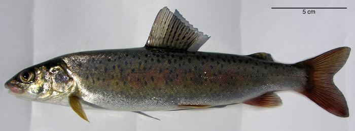 Brachymystax lenok ACSI Mongolia Salmonidae