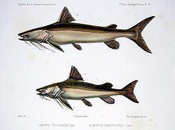 Brachyplatystoma Brachyplatystoma Wikipedia