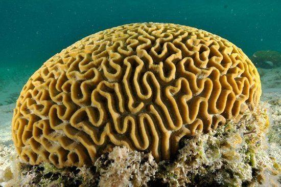 Brain Coral Alchetron The Free Social Encyclopedia