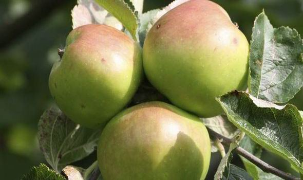 Bramley apple Top 10 facts about Bramley apples Top 10 Facts Life amp Style