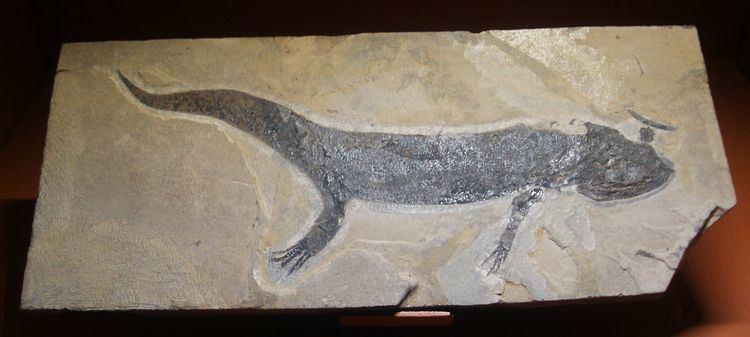Branchiosauridae