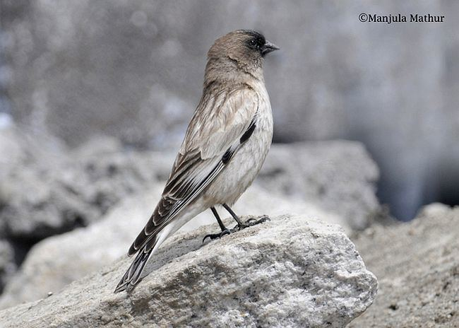 Brandt's mountain finch orientalbirdimagesorgimagesdatabrandtmountain