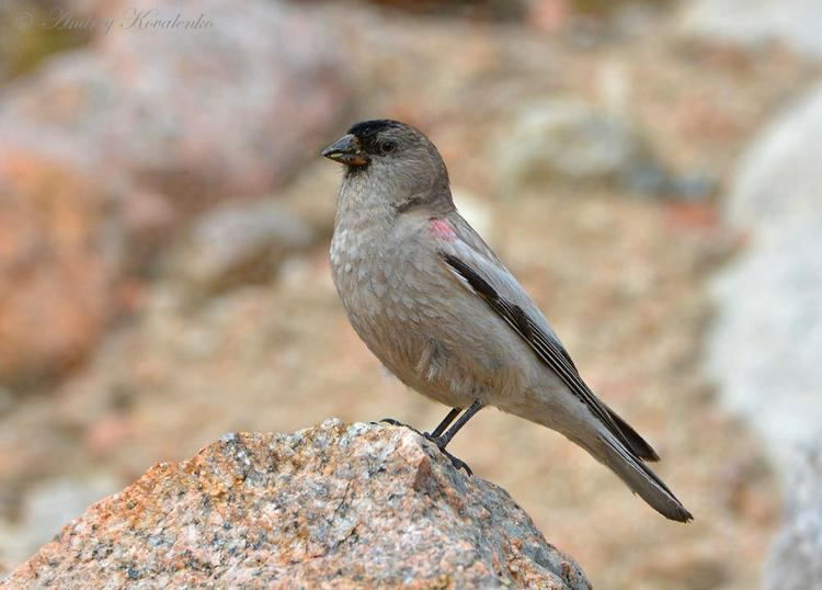 Brandt's mountain finch Brandt39s Mountainfinch Leucosticte brandti videos photos and