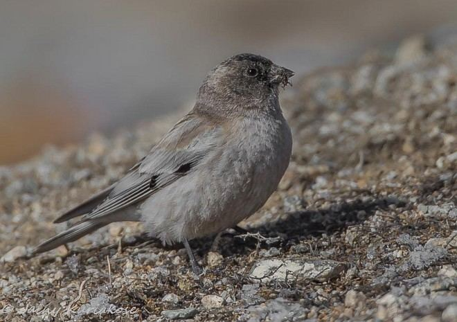 Brandt's mountain finch Oriental Bird Club Image Database Brandt39s Mountain Finch