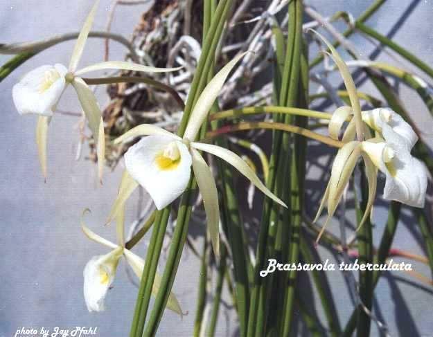 Brassavola tuberculata IOSPE PHOTOS