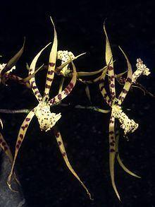 Brassia arachnoidea httpsuploadwikimediaorgwikipediacommonsthu