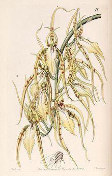 Brassia cochleata httpsuploadwikimediaorgwikipediacommonsthu