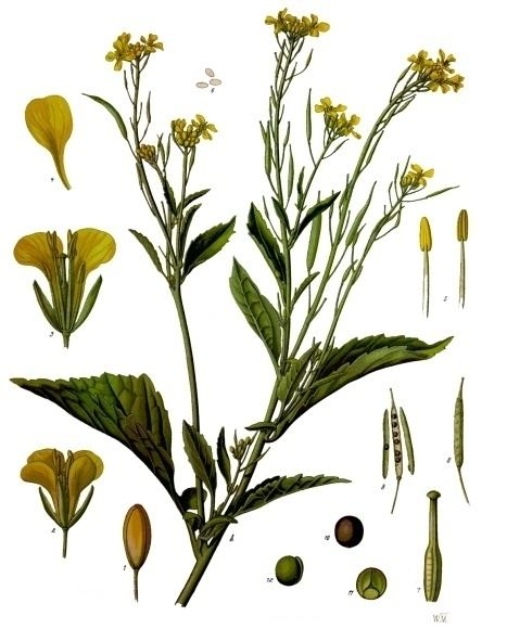 Brassica Brassica juncea Wikipedia