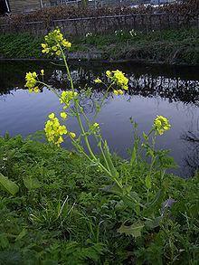 Brassica Brassica Wikipedia