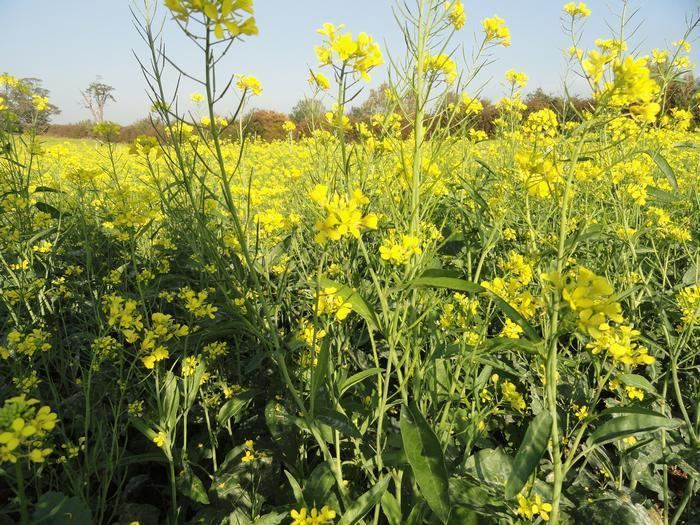 Brassica Research The use of Brassica species for the Management of Potato
