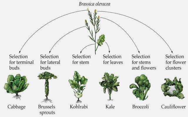 Brassica The magical Brassica oleracea plant