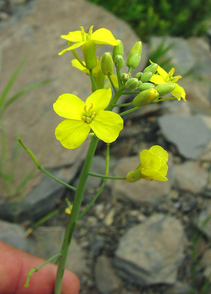 Brassica Brassica rapa rape Go Botany