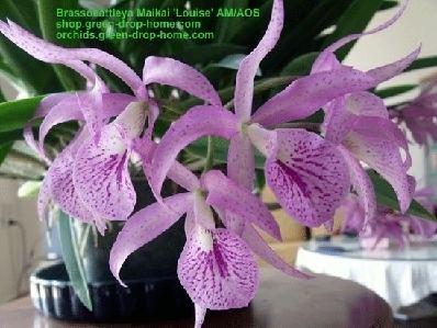 Brassocattleya Brassocattleya Maikai 39Louise39 AMAOS Size L Orchids shop from