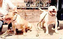 Brazilian Dogo Brazilian Dogo Wikipedia