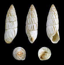Brephulopsis cylindrica httpsuploadwikimediaorgwikipediacommonsthu