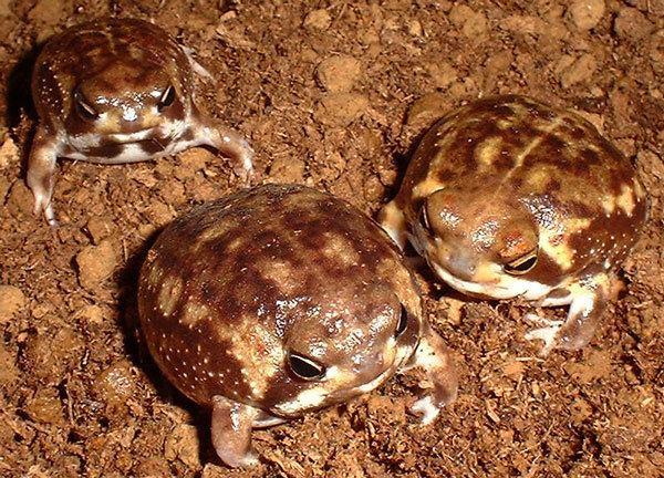 Breviceps adspersus Rain Frogs Breviceps adspersus Reptile Forums