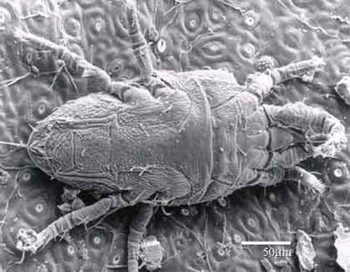Brevipalpus phoenicis a false spider mite Brevipalpus phoenicis Geijskes