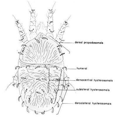 Brevipalpus phoenicis entnemdeptufleducreaturesornmitesbrevipalpus