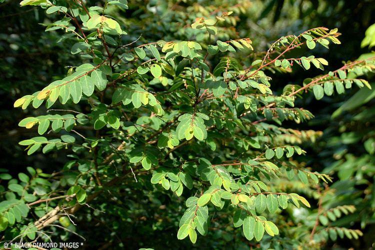 Breynia oblongifolia Breynia oblongifolia Coffee Bush Family Phyllanthaceae Flickr