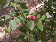 Breynia oblongifolia httpsuploadwikimediaorgwikipediacommonsthu