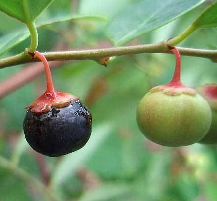Breynia oblongifolia Breynia oblongifolia EUPHORBIACEAE Coffee Bush
