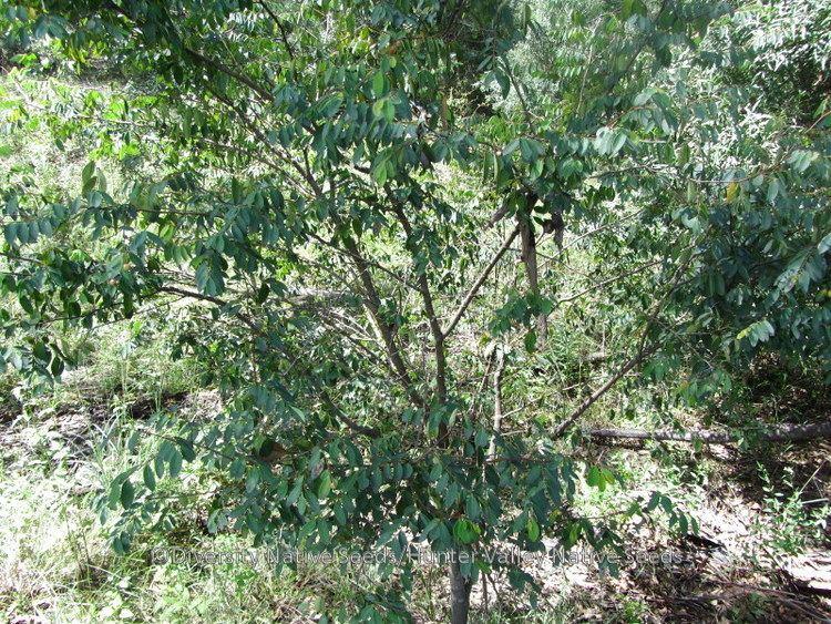 Breynia oblongifolia Breynia oblongifolia coffee bush Diversity Native Seeds