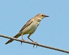 Bristled grassbird httpsuploadwikimediaorgwikipediacommonsthu