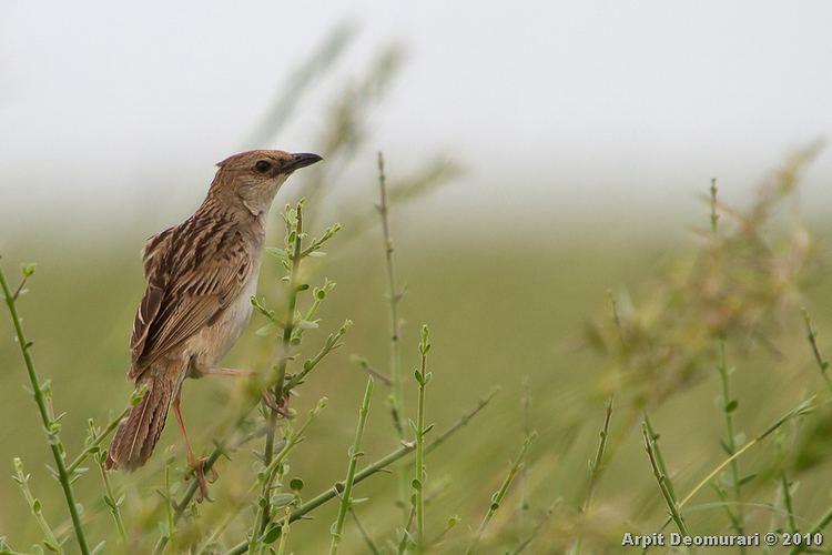 Bristled grassbird AvianDiversity Bristled Grassbird Chaetornis striata Jerdon 1841