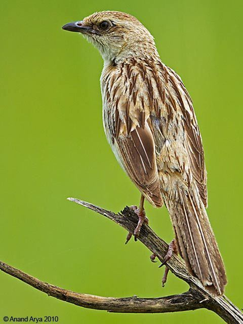 Bristled grassbird Oriental Bird Club Image Database Bristled Grassbird Chaetornis