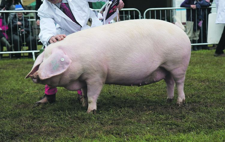 British Lop Top 9 native British pig breeds and how to recognise them
