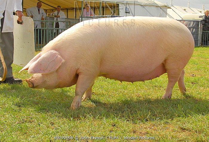 British Lop Minden Pictures stock photos Domestic Pig British Lop sow