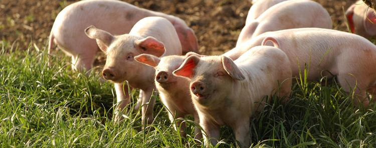 British Lop British Lop Pig Society Benefits of Lop Pigs