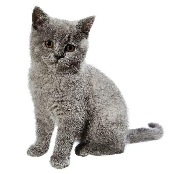 British Shorthair Alchetron The Free Social Encyclopedia