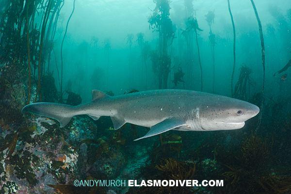 Broadnose sevengill shark Broadnose Sevengill Shark Information