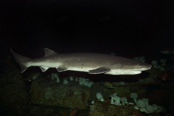 Broadnose sevengill shark Broadnose Sevengill Shark Pictures Images of