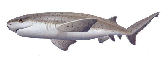 Broadnose sevengill shark Broadnose Sevengill Shark Oceanscape Network