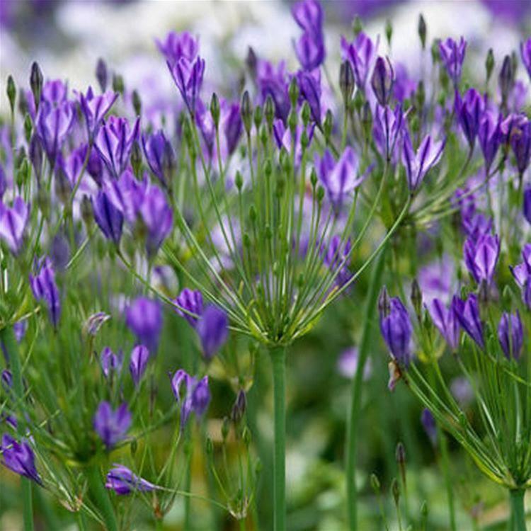 Brodiaea Triteleia Brodiaea Queen Fabiola Flower Bulbs x 100 Internet
