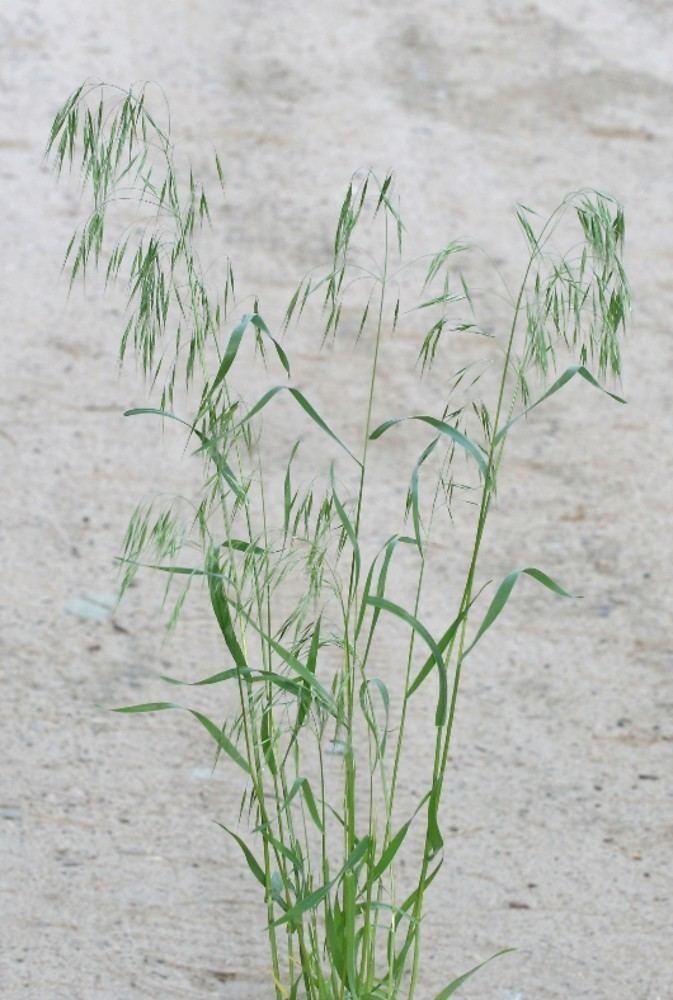 Bromus tectorum Bromus tectorum cheat brome cheatgrass Go Botany