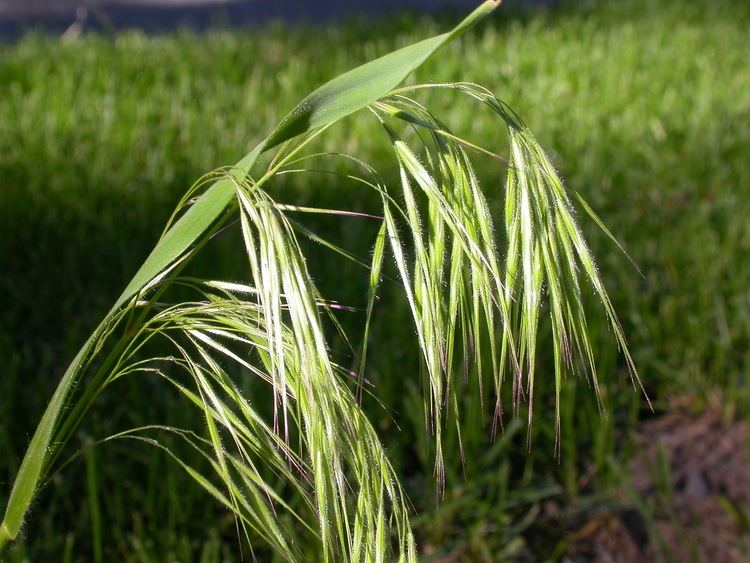 Bromus tectorum Poaceae Grass family Bromus tectorum Downy brome Winter annual