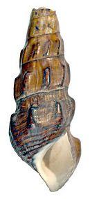 Brotia episcopalis